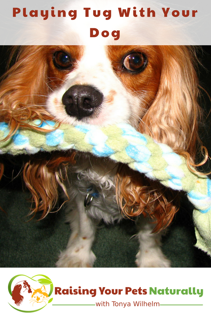 Games to Play with Your Dog | Dog Tug of War. Learn the ins and outs of playing tug of war with your dog. #raisingyourpetsnaturally #playdog #dogplay #gamestoplaywithyourdog #dogtug #tugofwar