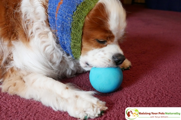 Games to Play with Your Dog | Dog Tug of War. Learn the ins and outs of playing tug of war with your dog. #raisingyourpetsnaturally
