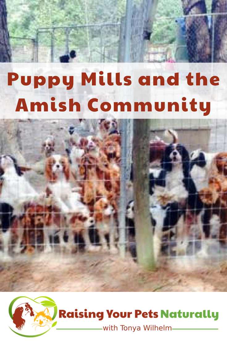 A puppy mill is a commercial dog breeding program where hundreds of dogs are confined in small cages for the sole purpose of breeding. Learn how you can help. #raisingyourpetsnaturally #puppymills #rescue #dogrescue #adopt