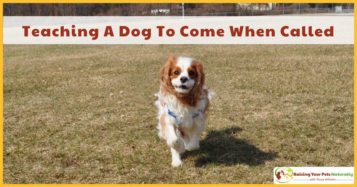 How to train a dog or puppy to come when called. Learn how to train your dog to come when called today. #raisingyourpetsnaturally