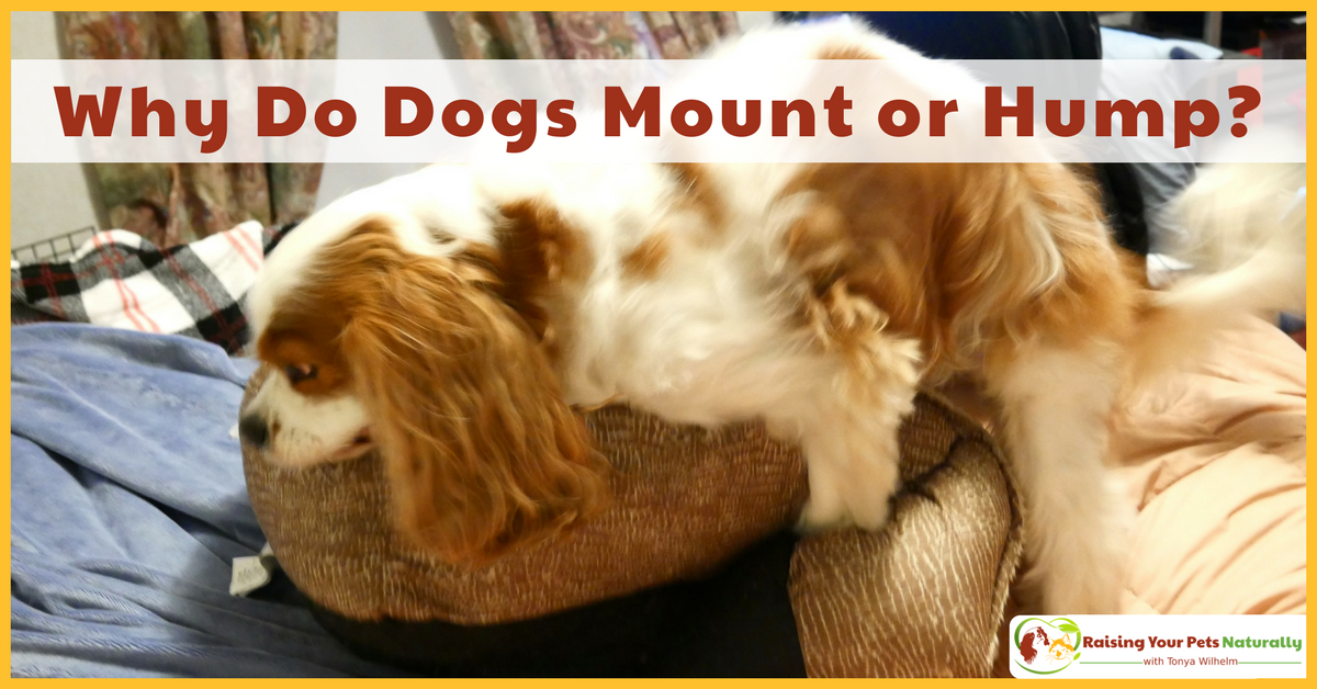 Why do dogs hump? Why do dogs hump people or their toys? Learn some common reasons in today's post. #raisingyourpetsnaturally
