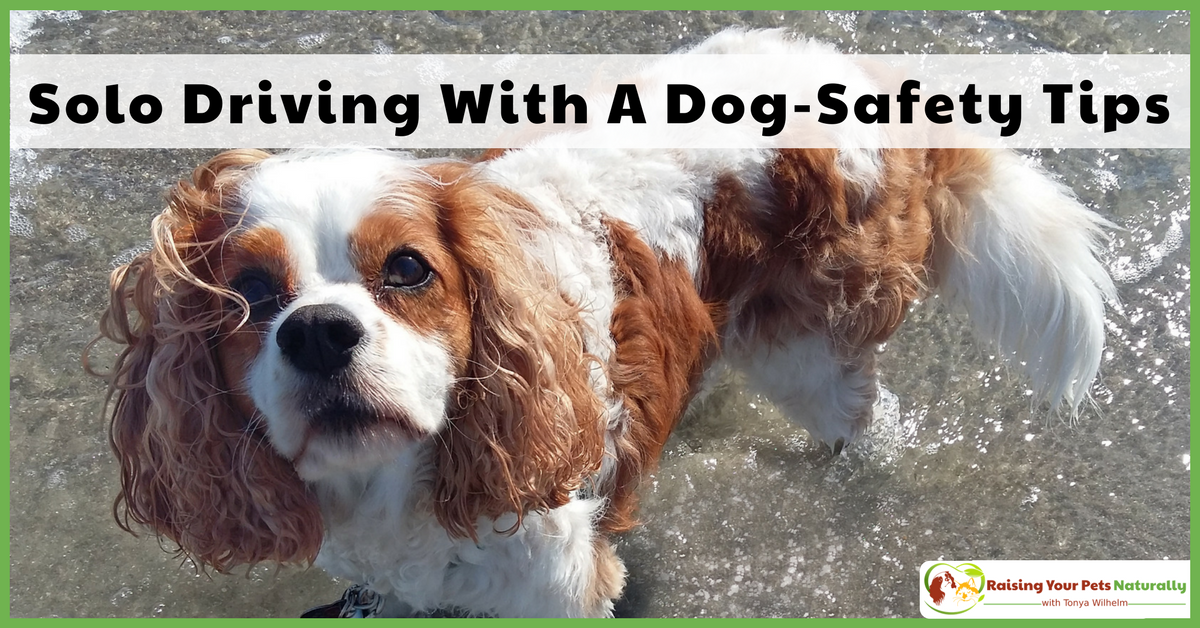 Being an independent female, I often hit the open road withDexter The Dogand no other people. Here are some of my best travel safety tips. #raisingyourpetsnaturally