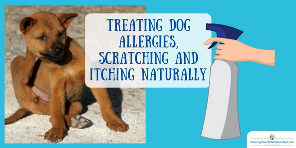 Treating Dog Allergies Naturally. Does your dog suffer from seasonal allergies? Learn how foods have an energetic (hot, cool, neutral) and how to use that to help soothe your dog. DIY dog itch spray and video too! #raisingyourpetsnaturally