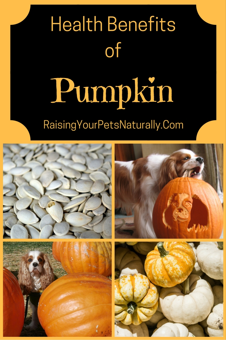 Can dogs and cats eat pumpkin?  Learn some of the health benefits pumpkin for your pets and you.  #raisingyourpetsnaturally
