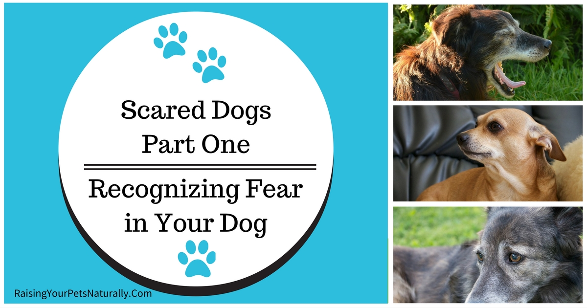Does you dog have dog anxiety? A dog that is scared and has anxiety is something I can relate to. Learn some common dog anxiety treatments and how to help a scared dog. #raisingyourpetsnaturally