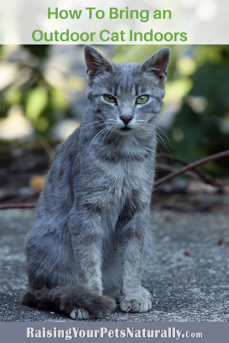 How To Bring an Outdoor Cat Indoors. 6 tips to get you started on transitioning a stray to an inside cat. #raisingyourpetsnaturally #cattraining #catbehavior #straycats