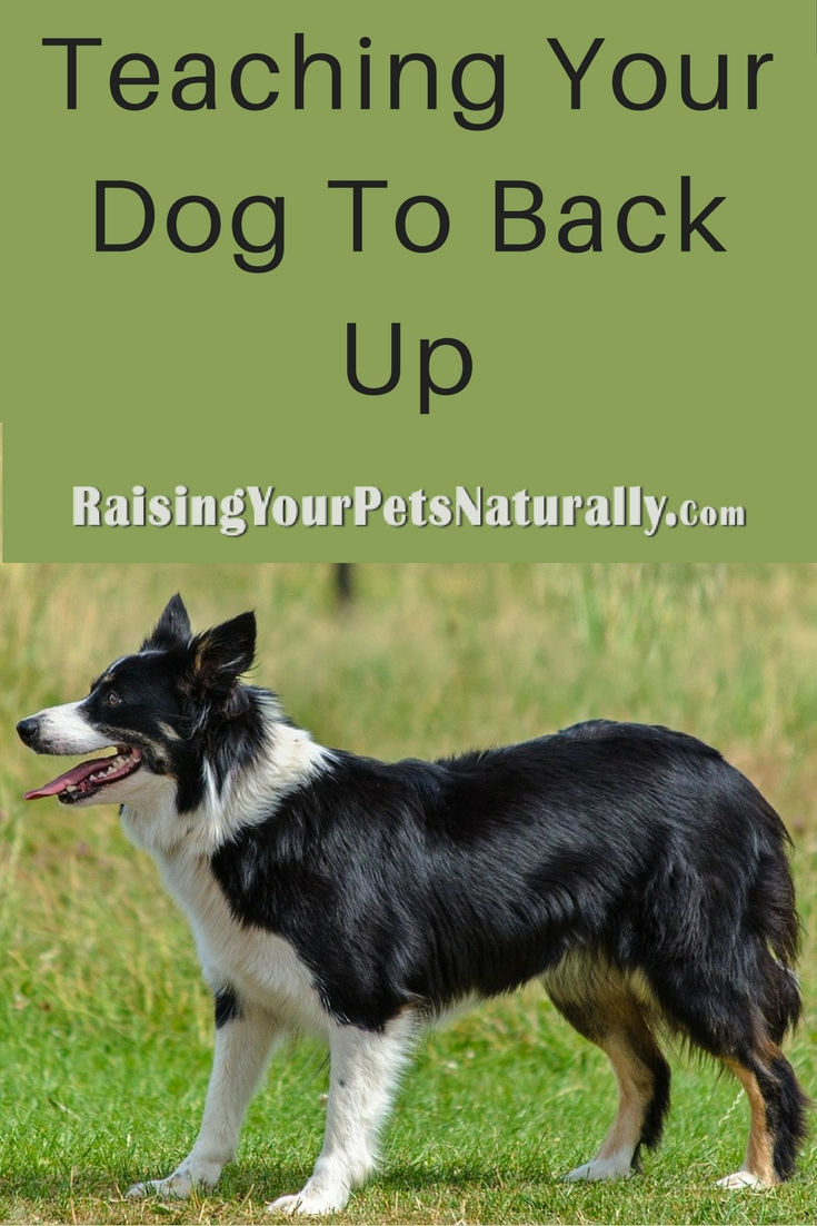 #Dogtricks to teach your dog. Teaching your dog to back up or walk backward is not only a #cooldogtrick an amazing helpful dog behavior. Learn how. #raisingyourpetsnaturally
