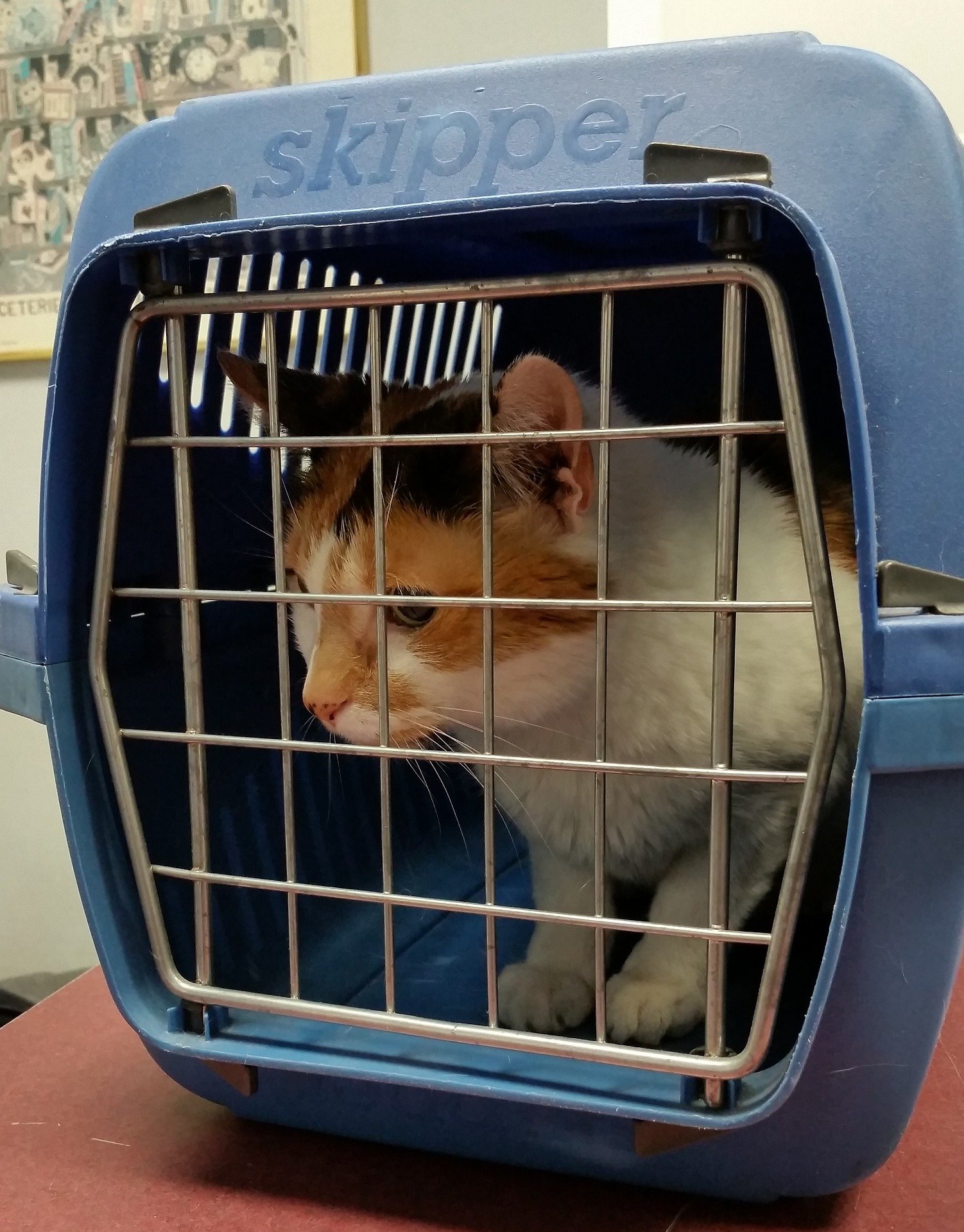 Bringing An Outdoor Cat Indoors How To Bring First