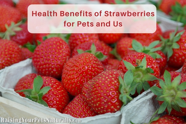 Health benefits of strawberries for people, pets, dogs and cats