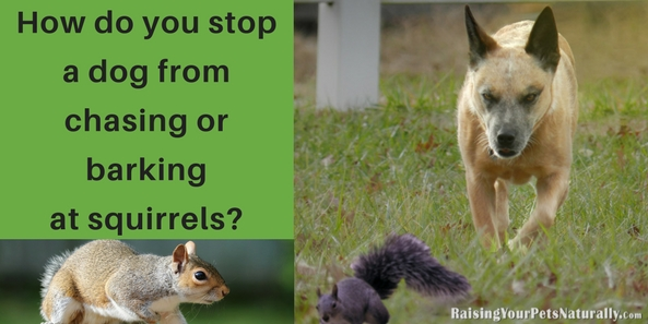 Have you ever wondered why dogs chase squirrels? Or even why do dogs hate squirrels? How do you stop a dog from chasing or barking at squirrels? Good management and positive dog training. I'm not going to say it will be easy, particularly if your dog is chasing squirrels in your yard or at your window, but there is hope. Here are some positive dog training tips to get you started.