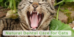 Cat Teeth Cleaning, Cat Dental Care and How to Brush Your Cat's Teeth