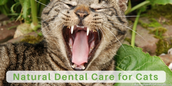 Cat Teeth Cleaning, Cat Dental Care and How to Brush Your Cat's Teeth. Learn how you can easily create a daily natural dental oral care program for your cat. #raisingyourpetsnaturally