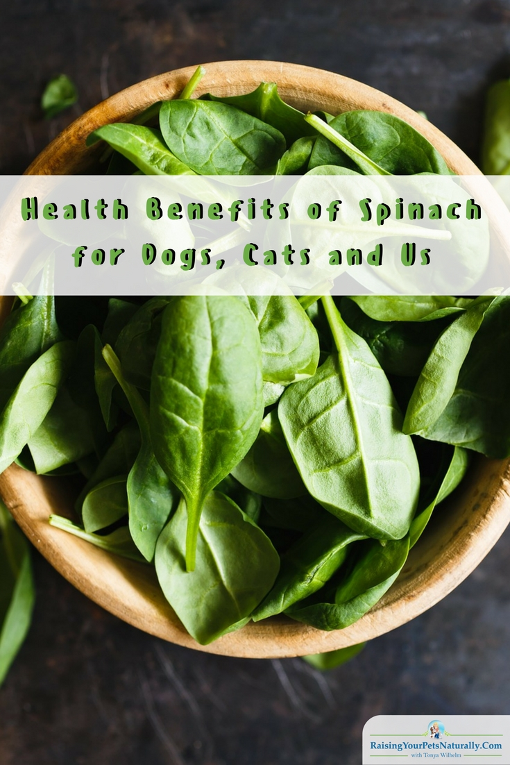 Can dogs and cats eat spinach? Learn some of the health benefits of spinach for your pets and you. #raisingyourpetsnaturally