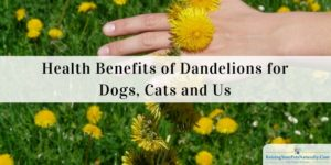 Dogs Eating Dandelions Flowers and Leaves | Health Benefits of Dandelions for Dogs, Cats and Us