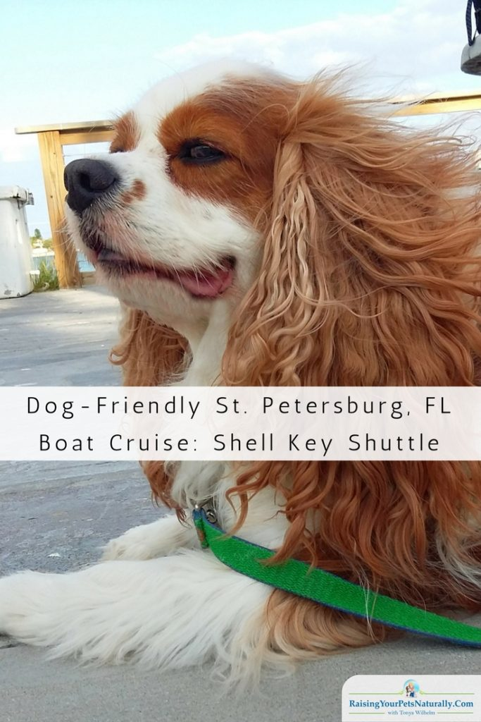 Dog-Friendly St. Petersburg, Florida. If you are looking for a fun dog-friendly activity in Florida, you should check out Shell Key Shuttle. #raisingyourpetsnaturally #dogfriendly #dogfriendlyactivities #travelingwithdogs #dogfriendlyflorida #dogfriendlyfl #floridadogs #stpete #stpetersburg #florida
