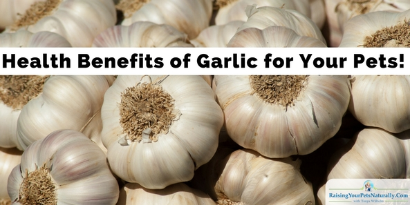 Can dogs and cats eat garlic? Is garlic toxic to pets? Learn some of the health benefits garlic for your pets and you. #raisingyourpetsnaturally