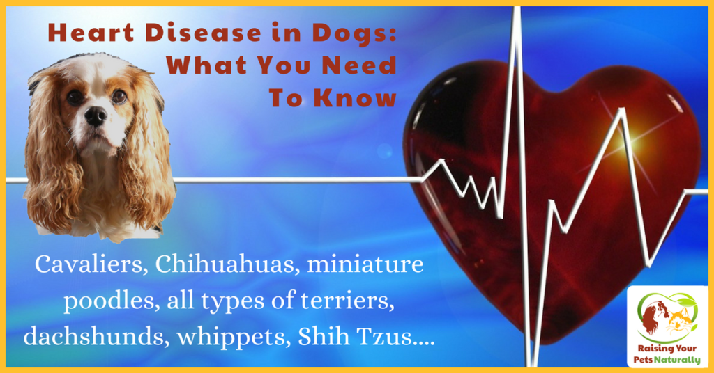 Dog Heart Murmur and Heart Disease in Dogs What You Need To Know. Is your dog prone to congestive heart failure? Learn the facts and how to be proactive in his care. #raisingyourpetsnaturally