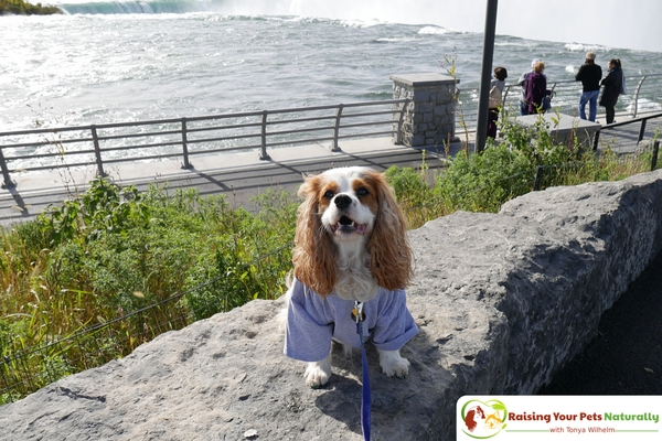 Dog-friendly vacations with your dog. Dog-friendly Niagara Falls, New York USA. Open 365 days, Niagara Falls is a great pet-friendly destination. #raisingyourpetsnaturally
