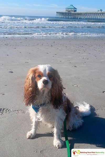 Dog-Friendly Folly Beach, South Carolina. If you are looking for a dog-friendly beach, you won't want to miss this one! #raisingyourpetsnaturally