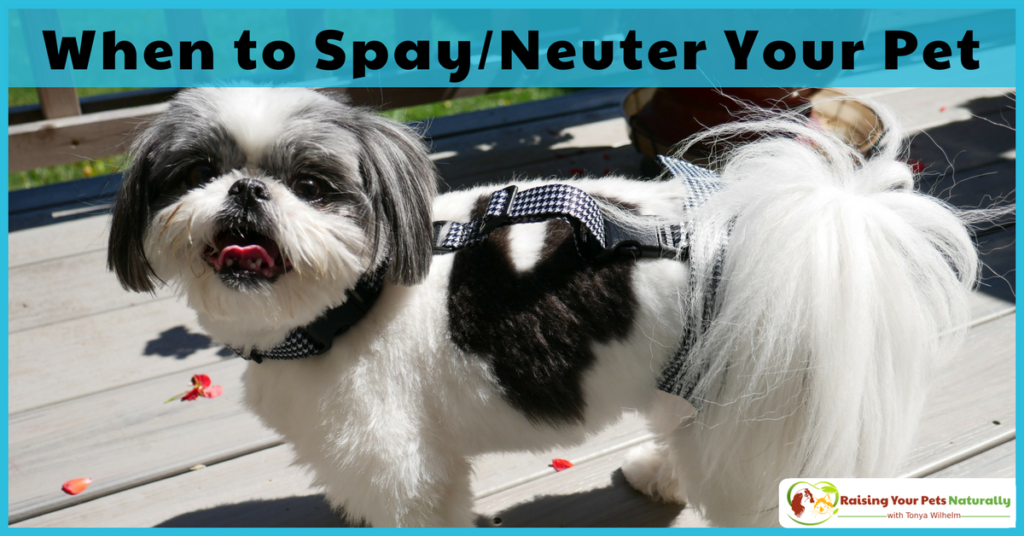 When to neuter or spay a dog is not as simple as it may seem. There is no best age to neuter or spay. Learn more by clicking through.#raisingyourpetsnaturally