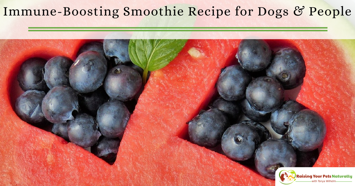 Berry Immune Boosting Dog Smoothie Recipe to Share. This basic smoothie recipe is a great choice if you and your dog need an immune boost. #raisingyourpetsnaturally