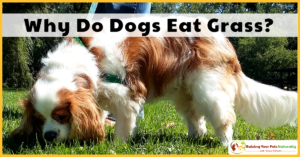 Why Do Dogs Eat Grass? Can Dogs Eat Grass?