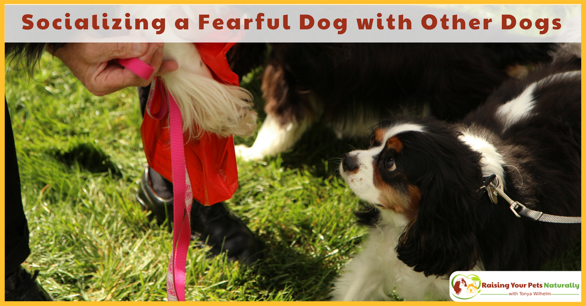 Learn how to socialize a scared dog with other dogs. Socializing a dog with anxiety takes a lot of patience and gentle encouragement. Learn how today. #raisingyourpetsnaturally