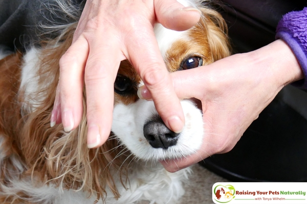 Does your dog have a dry nose or cracked dog paws? Are you looking for a natural healing balm that doubles as a sunscreen for your dog? Check out my review of 4-Legger's organic dog healing balm. #raisingyourpetsnaturally