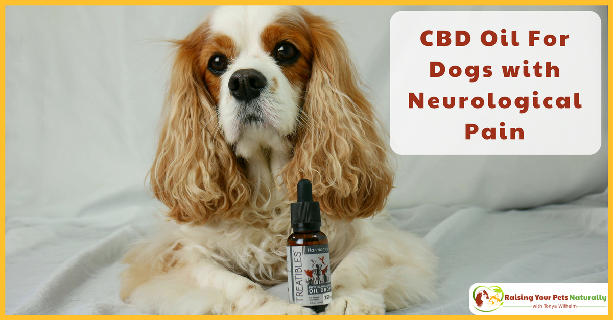 CBD Oil (Phytocannabioind Rich-PCR)For Dogs with Neurological Pain. Dexter's canine rehabilitation veterinarian, prescribed Phytocannabinoid-Rich (PCR) Oil twice a day. Learn why and how it may help your dog's pain. #raisingyourpetsnaturally