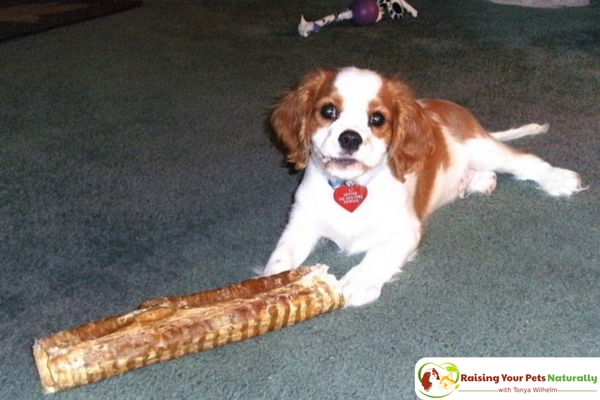 How to Stop a Puppy from Biting and Mouthing People. Teaching your new puppy not to bite people is one of the fundamental behaviors in raising a polite puppy. Learn how today. #raisingyourpetsnaturally