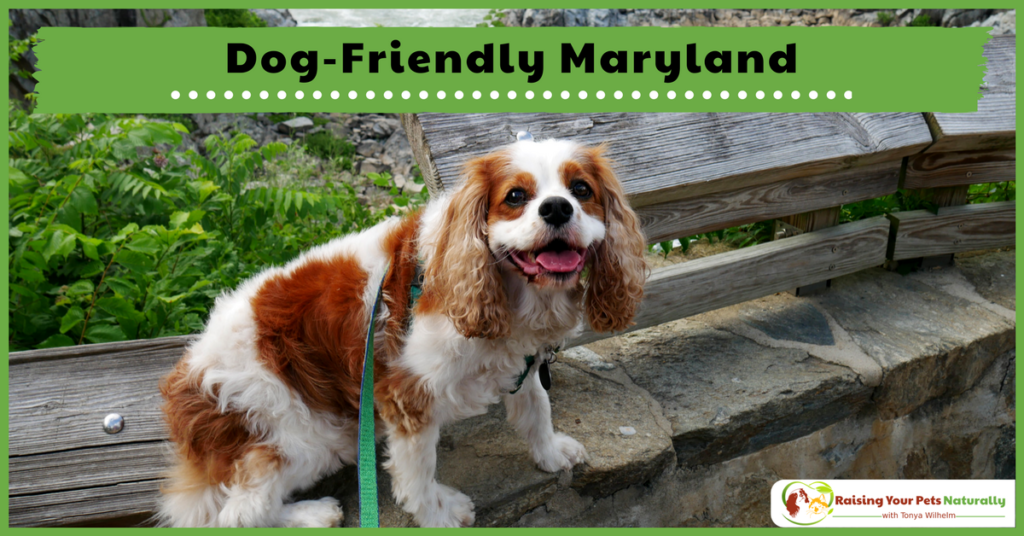 Dog-Friendly Vacations in Maryland. If you are traveling with dogs, you won't want to miss these Dog-Friendly Maryland attractions, hotels and destinations. #raisingyourpetsnaturally
