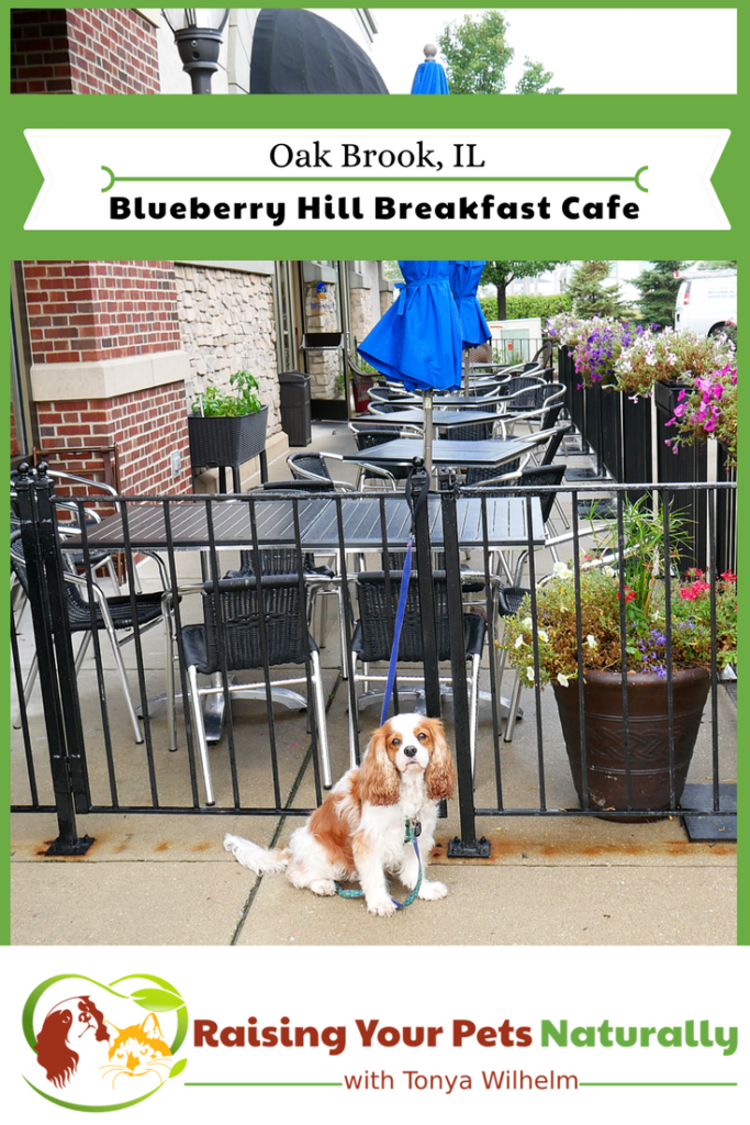 Dog-Friendly Restaurants in The Chicago Area. Blueberry Hill Breakfast Cafe Review. Blueberry Hill Cafe's friendly, family atmosphere was combined with great prices and exceptional food! #raisingyourpetsnaturally #dogfriendly #dogfriendlyrestaurants #dogfriendlycafes #dogfriendlychicago
