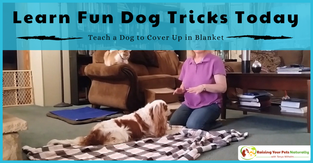 Cool dog tricks to teach your dog. How to teach your dog to roll over in a blanket. #raisingyourpetsnaturally