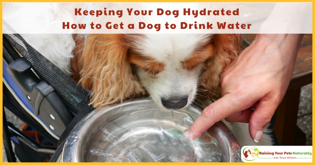 Keeping Your Dog Hydrated and Preventing Dog Dehydration-How to Get a Dog to Drink Water. Here are some tips to help entice your dog to drink water during outings. #raisingyourpetsnaturally