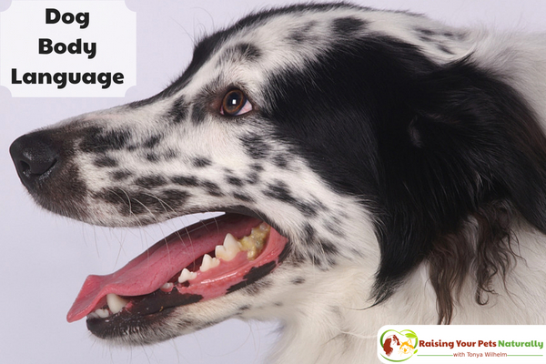 Is your dog scared of strangers? Learn how to help a dog with anxiety in today's blog post. #raisingyourpetsnaturally
