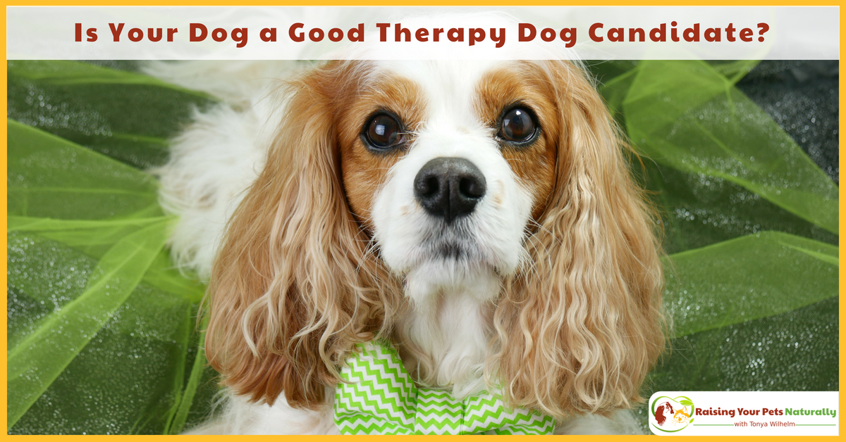 Therapy Dogs and Therapy Dog Training. Is Your Dog a Good Therapy Dog Candidate? Bonus Video. #raisingyourpetsnaturally