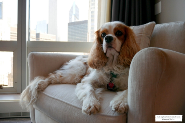 Dog-friendly Chicago, Illinois Vacations. Check out my Chicago road trip with Dexter The Dog. Dog-Friendly Activities in Chicago at your fingertips. #raisingyourpetsnaturally