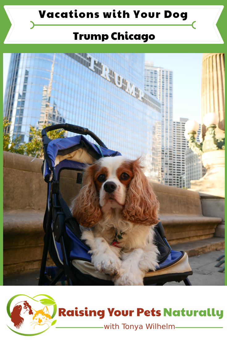 Pet-Friendly Luxury Hotels in Downtown Chicago. Read our experiences at Trump Chicago and learn about their Trump Pets Program. #raisingyourpetsnaturally #dogfriendlyvacations #roadtripwithdog #petfriendlyhotels #dogfriendlyhotels #trumptower #trumpchicago #trumpets