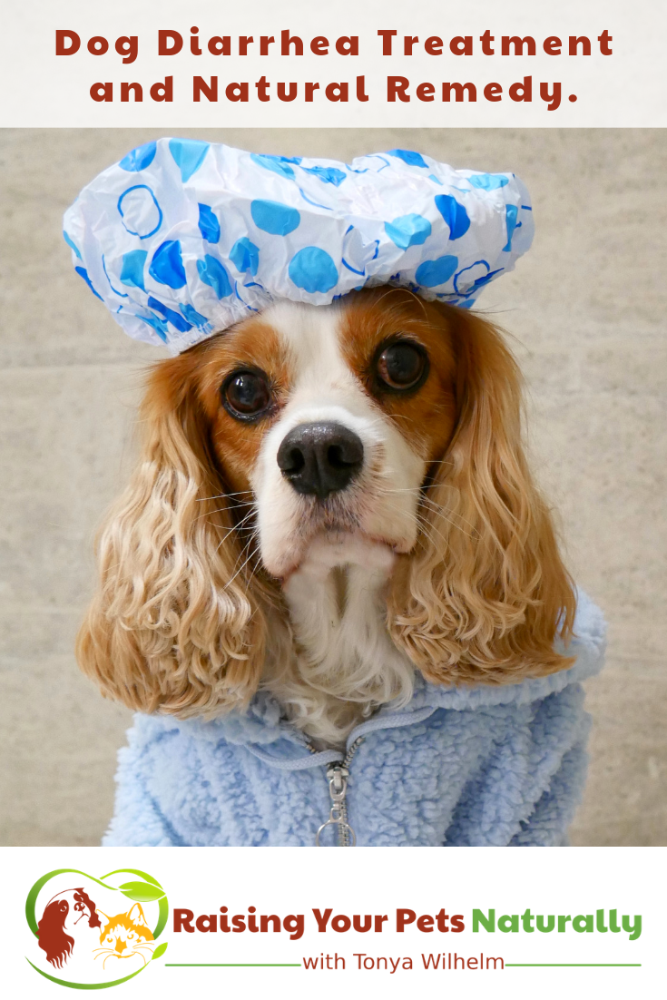 Dog Diarrhea Treatment and Remedy. Do you know how to tell if your dog's diarrhea warrants a trip to the veterinarian or if you can treat your dog's diarrhea at home? #raisingyourpetsnaturally #dogdiarrhea #dogdiarrheatreatment #dogdiarrhearemedy #homeremediesfordogdiarrhea
