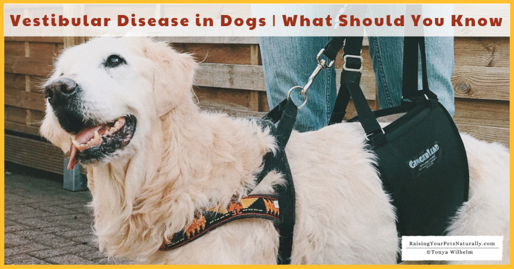 Vestibular Disease in dogs treatment, symptoms and what you should know. #raisingyourpetsnaturally