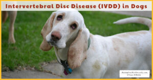 Intervertebral Disc Disease (IVDD)in Dogs, Symptoms, How to Diagnose, and Treatment Options