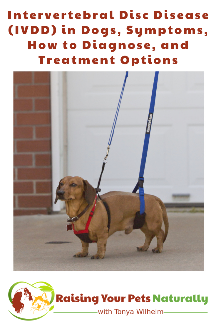 Intervertebral Disc Disease (IVDD) in Dogs, Symptoms, How to Diagnose, and Treatment Options. #RaisingYourPetsNaturally #IVDD #IVDDDOGS