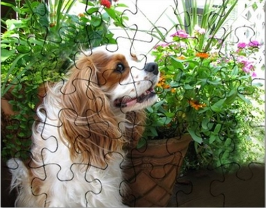 Cavalier King Charles Spaniel gifts and t-shirts