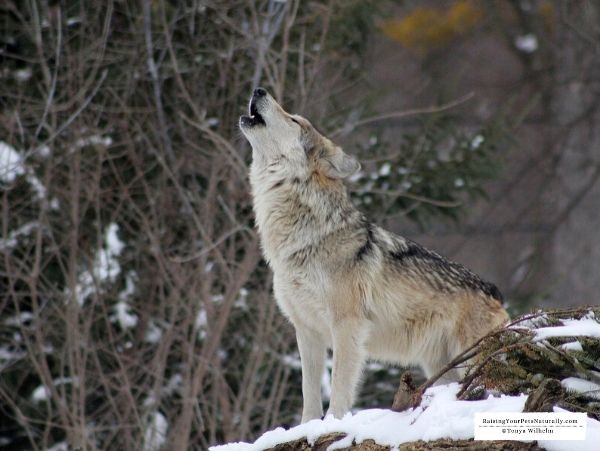 What is the meaning of howling